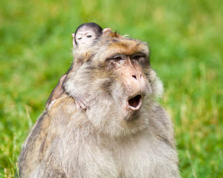 Barbary Macaque Monkeys.  A baby macaque monkey and their mother is pictured.   Barbary macaque monkeys live in the Atlas Mountains of Algeria and Morocco.
