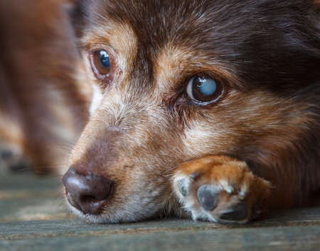 Dog Resting.  A dog is seen resting on a bench.  The dog is partially sighted having a cataract on his left eye. Stock Photo