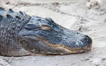 Dormire alligatore Archivio Fotografico - 85610019