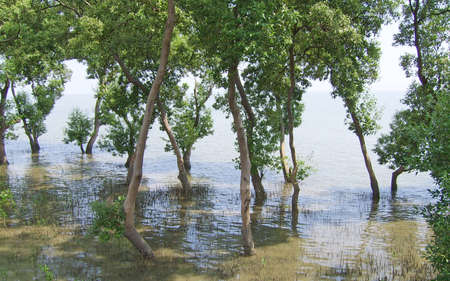 Mangrove trees stand in the sea photo