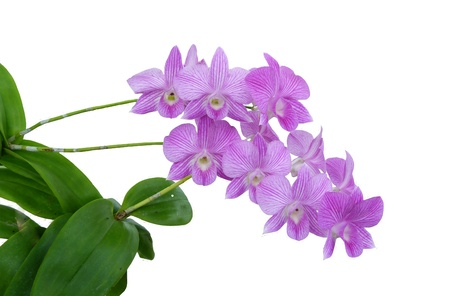 Pink orchid on white background Stock Photo