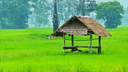 A little hut in the rice field Imagens