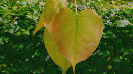 pipal: Beautiful young leaves of pipal tree Stock Photo