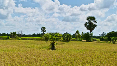 sugar palm: Young sugar palm in the gold rice field