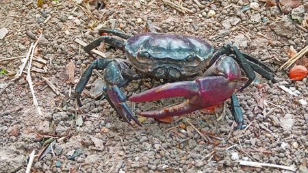 eight legs: Red field crab on the dried ground