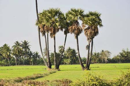 sugar palm: Group of old sugar palm trees in green rice field Stock Photo