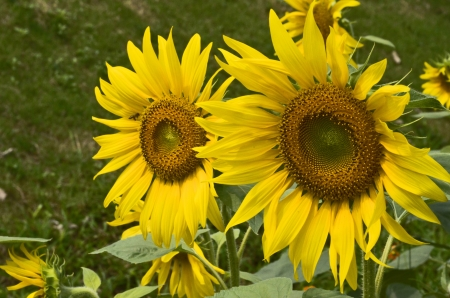 yelloow: Couple of sunflowers on blur background