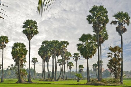 sugar palm: Sugar palm trees in the rice field