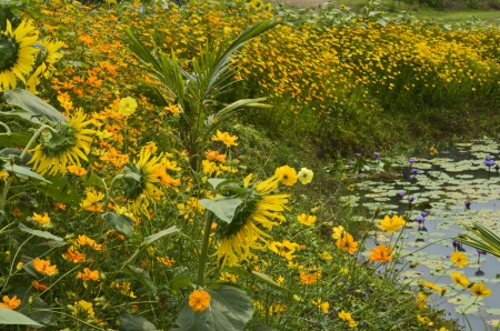 Sunflowers and yellow cosmos with pond photo