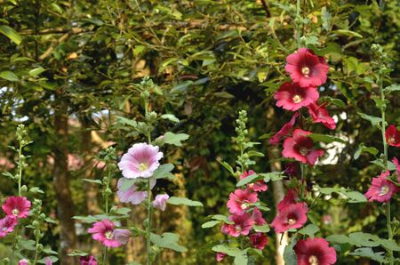 notable:  Notable pink and red hollyhock flowers
