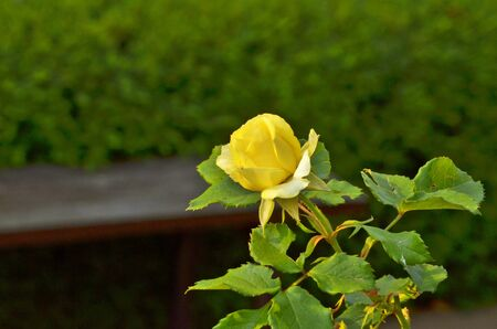 Yellow rose flower with leaves and branch Stock Photo - 18182152