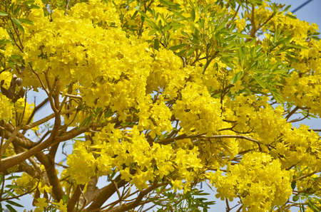 yeloow: Beautiful yellow flowers with branches and leaves Stock Photo