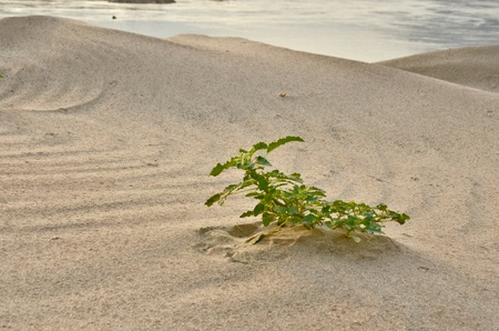 singly: Lonely spiny amaranth in beautiful sand with river