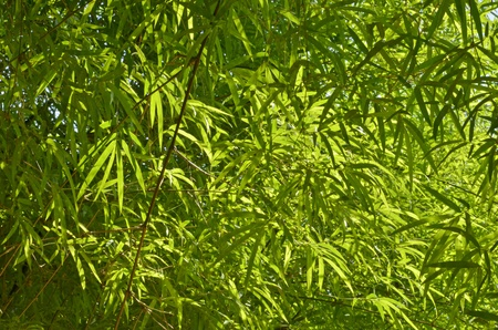 scintillation: Scintillation of sunlight on bamboo leaves Stock Photo