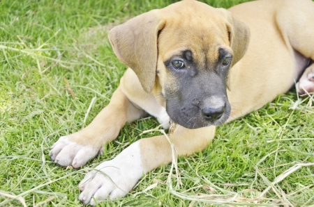 chien: Little brown puppy on the green grass Stock Photo