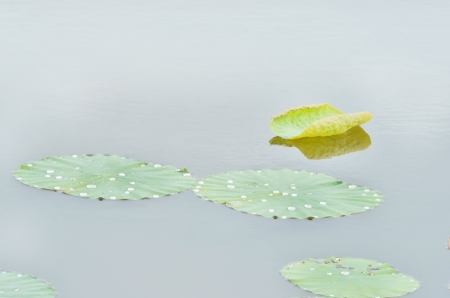Indian lotus leaves with raindrop in the canal photo