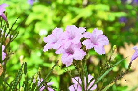 popping:  Beautiful pink popping pod flowers Stock Photo