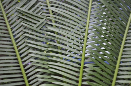 cycad: Green cycad leaves texture