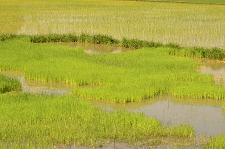 implantation: Rice sprouts in the implantation field