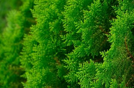 Green leaves of Chinese Arbor - vitae Imagens - 21379694