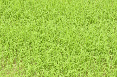 Green rice sprouts in sunlight photo