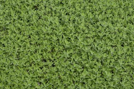 Little green bud texture photo