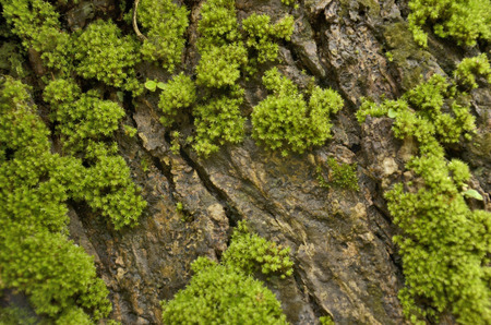 Old wet bark and green lichens photo