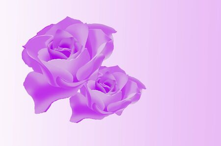 flowers close up: Cute violet roses on white background