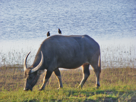 Couple birds on water buffalo back Imagens - 24569480