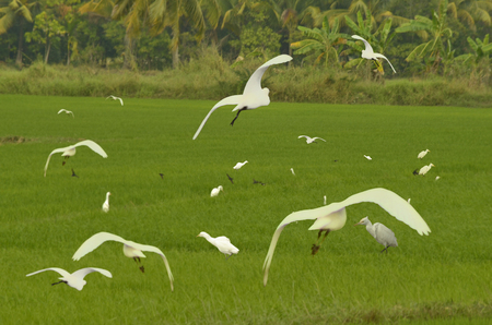 egrets: White egrets in green rice field Stock Photo