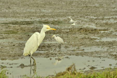 egrets: White egrets in mud field Stock Photo