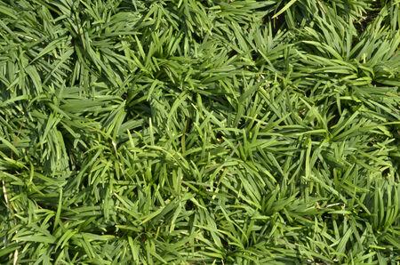 unruffled: Green grass texture in sunlight