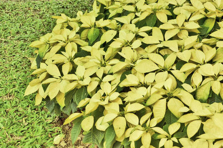 insectivorous: Beautiful soft yellow insectivorous leaves