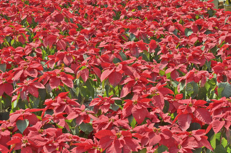 insectivorous: Beautiful red insectivorous leaves Stock Photo