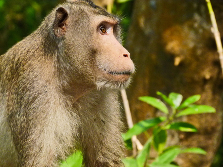 misbehave:  Long tailed macaque monkey closeup Stock Photo