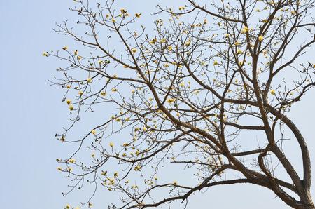 Bald big tree and blue sky photo