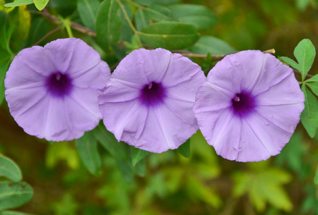 Three violet flowers on green background photo