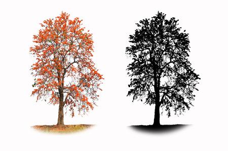 teak: Bastard teak tree with black shadow