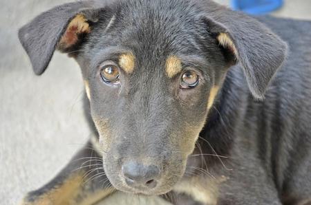 suspect: Suspect eyes of little black puppy
