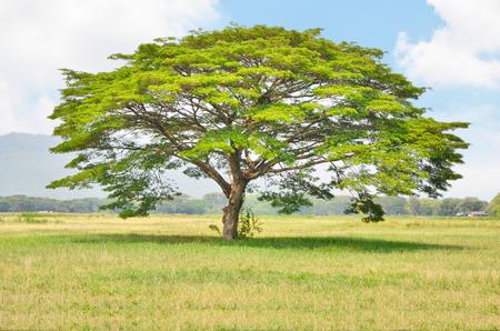 Big rain tree in the grass field photo