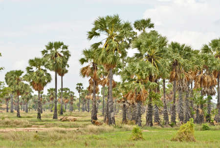sugar palm: Sugar palm field in thailand