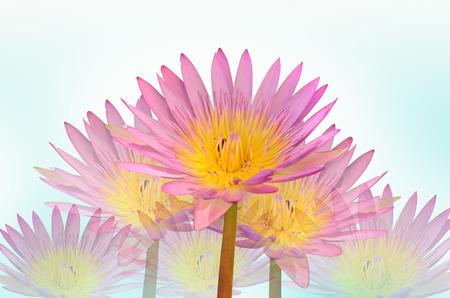 Beautiful water lily on white background photo