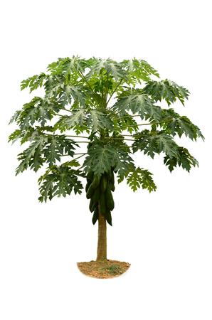 白い背景の上のパパイヤの木