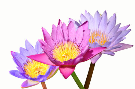 Color water lily on white background photo