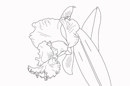 cattleya orchid: Blank cattleya orchid lines for painting