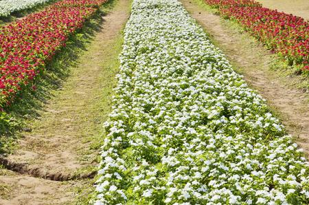 jardines flores: Filas de rojo y blanco jardines de flores Foto de archivo