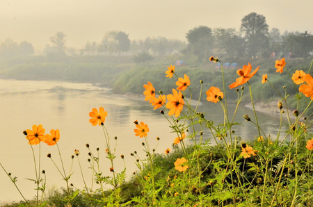 Beautiful cosmos field beside the river