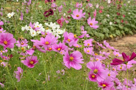 Purple cosmos flowers in the park photo