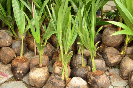 coconut seedlings: Showing coconut buds for sale Stock Photo