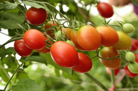 Fresh red tomatoes in the garden